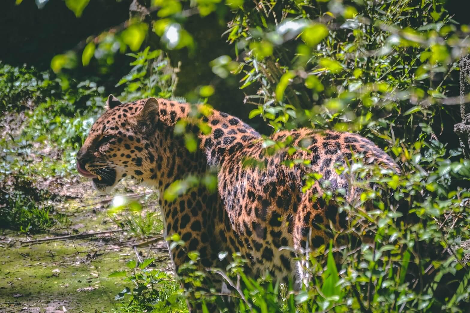 Jaguar dans le parc national du jau