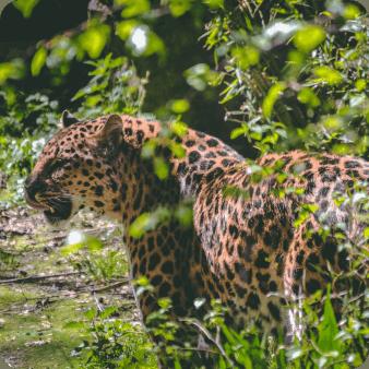 Jaguar en Amazonie